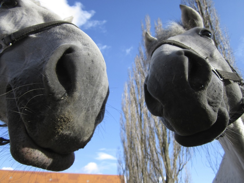 horses-2501568 (2)
